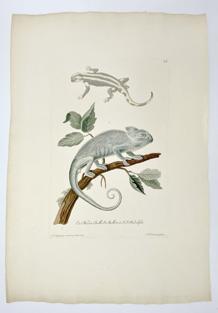 [Lizards]. Plate LV from: Deliciae Naturae Selectae Oder Auserlefenes Natüralien-Cabinet [Selected Delights of Nature, or the Exquisite Collector's Cabinet]. Georg Wolfgang KNORR.